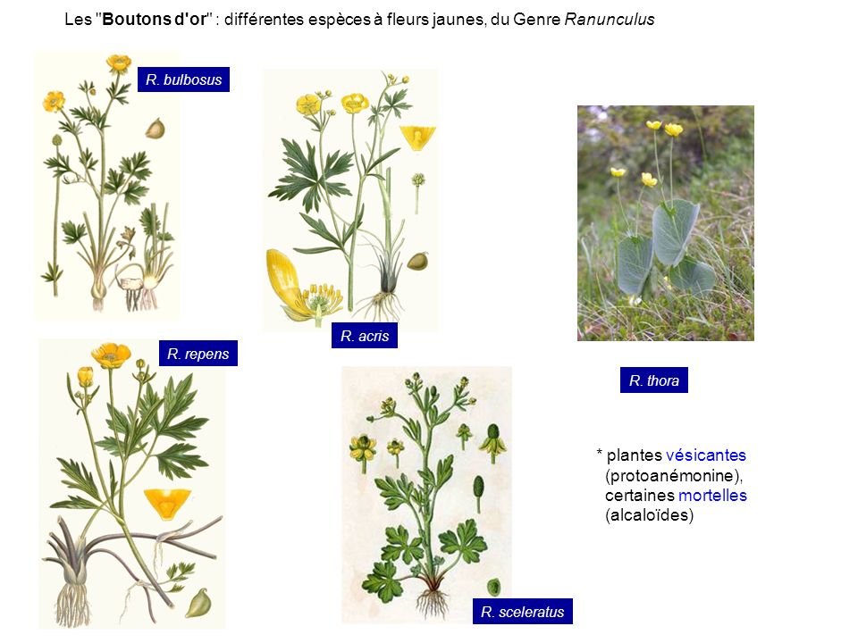 Les Boutons d or : différentes espèces à fleurs jaunes, du Genre Ranunculus