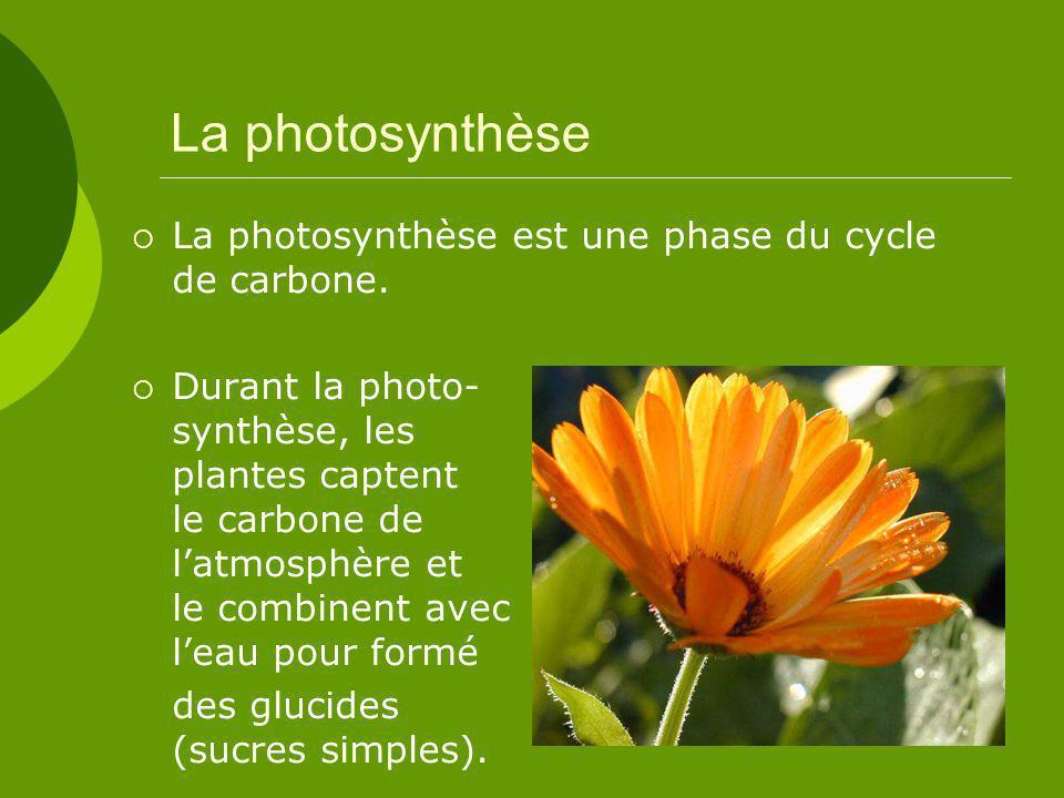 La photosynthèse La photosynthèse est une phase du cycle de carbone.