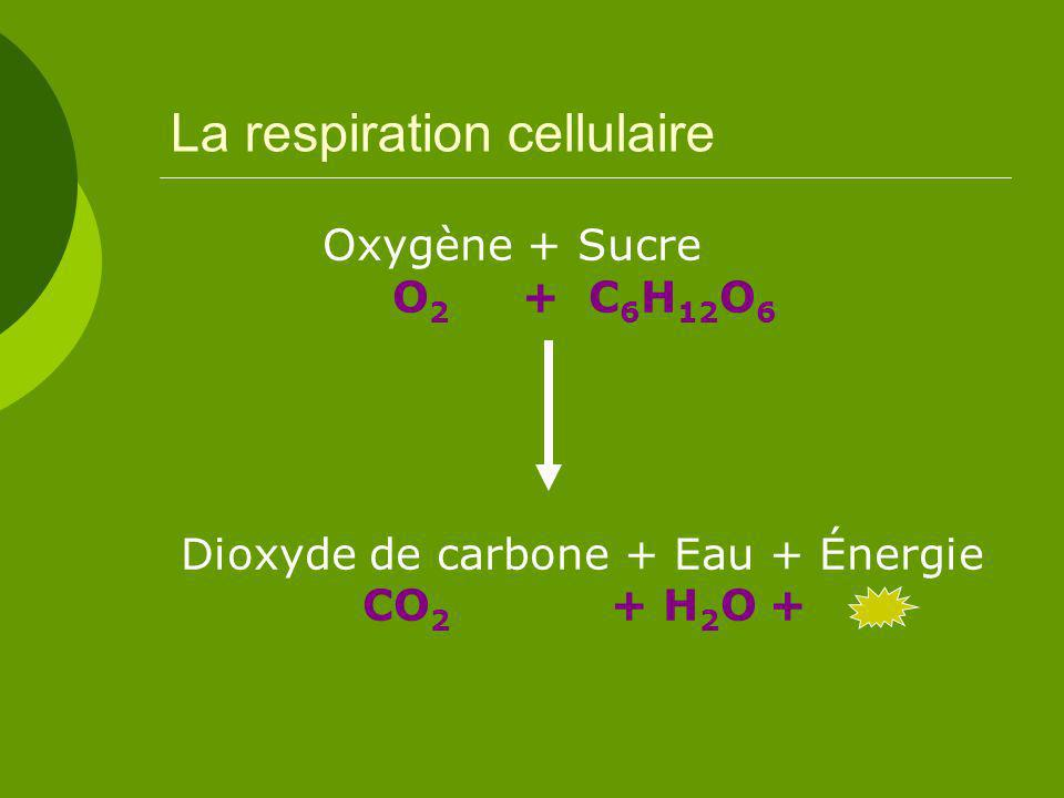 La respiration cellulaire