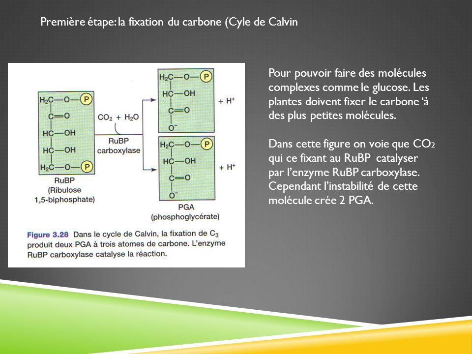 Première étape: la fixation du carbone (Cyle de Calvin