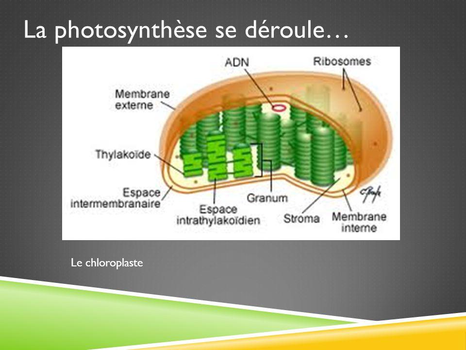 La photosynthèse se déroule…