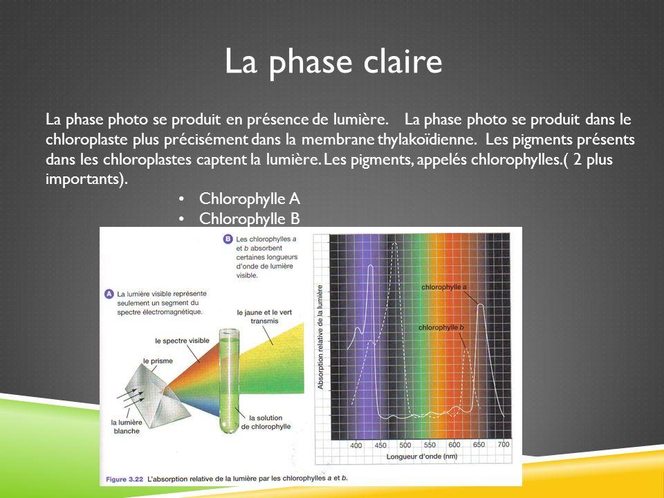 La phase claire