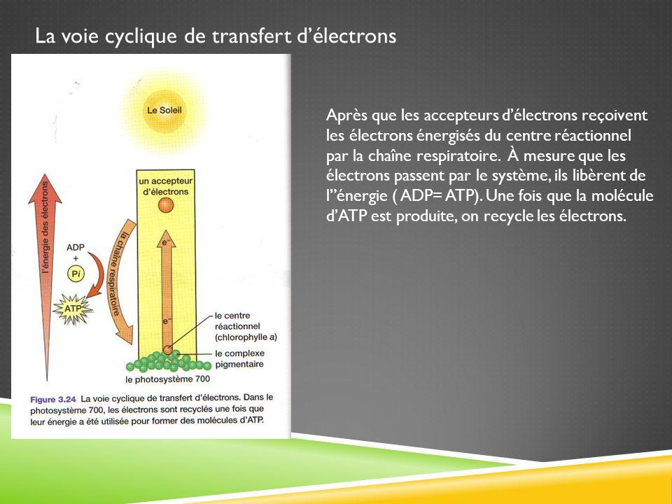 La voie cyclique de transfert d'électrons