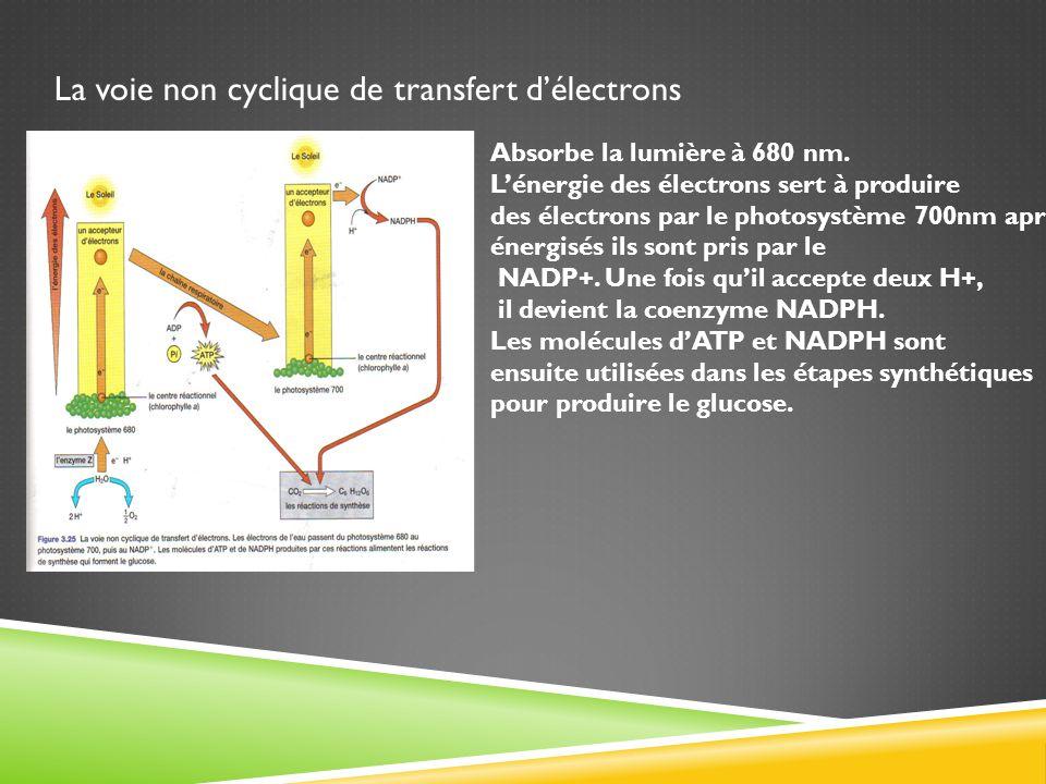 La voie non cyclique de transfert d'électrons