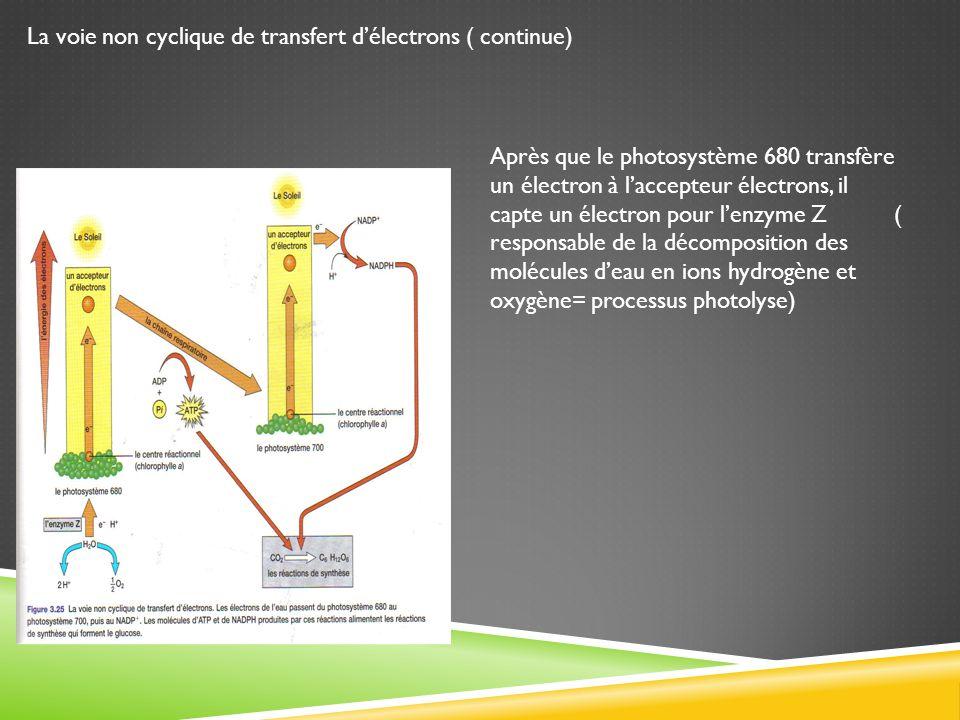 La voie non cyclique de transfert d'électrons ( continue)