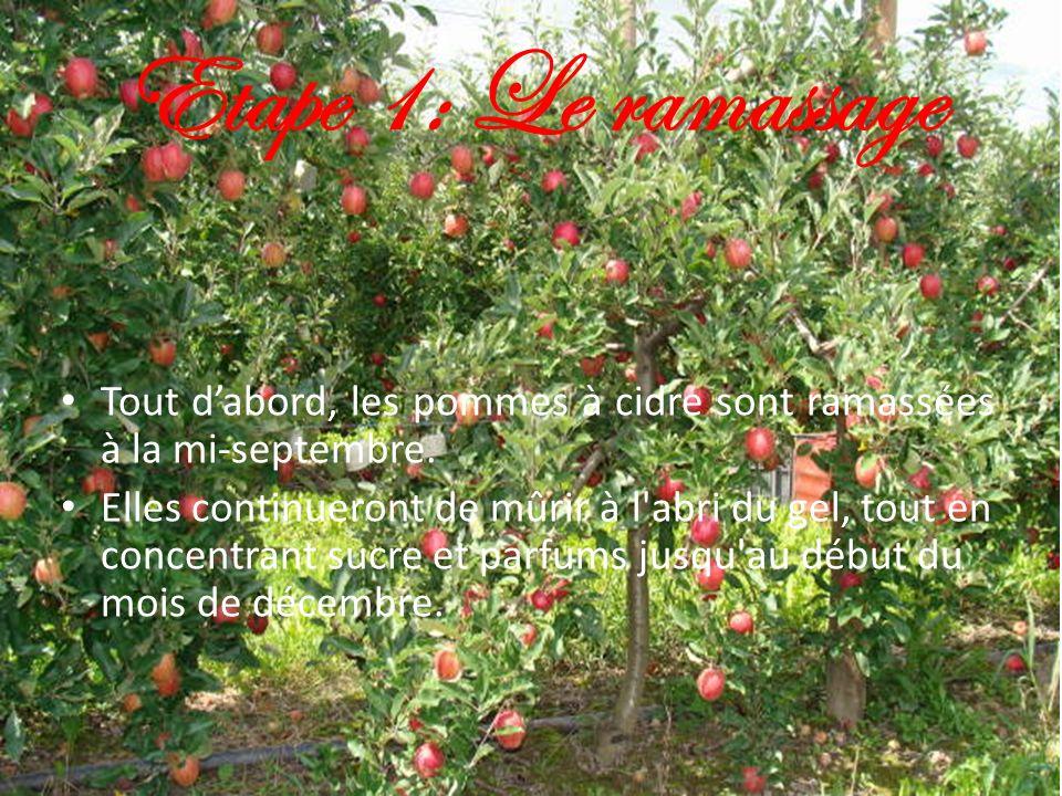 Etape 1: Le ramassage Tout d'abord, les pommes à cidre sont ramassées à la mi-septembre.