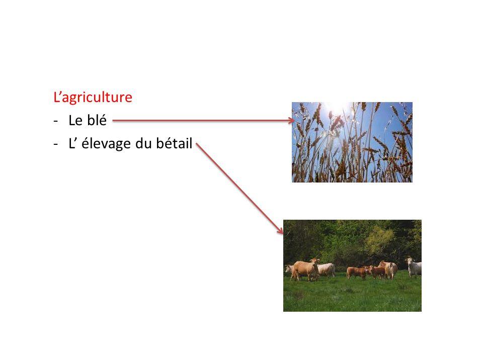 L'agriculture Le blé L' élevage du bétail
