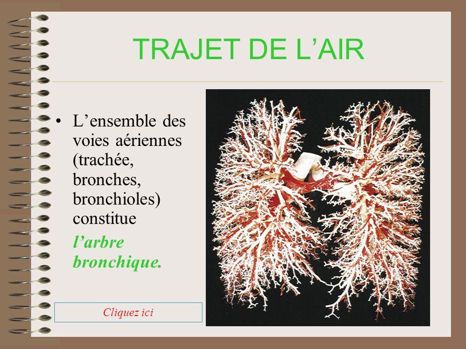TRAJET DE L'AIR L'ensemble des voies aériennes (trachée, bronches, bronchioles) constitue. l'arbre bronchique.