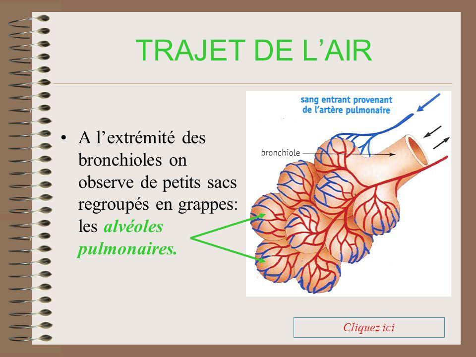 TRAJET DE L'AIR A l'extrémité des bronchioles on observe de petits sacs regroupés en grappes: les alvéoles pulmonaires.