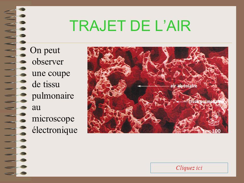 TRAJET DE L'AIR On peut observer une coupe de tissu pulmonaire au microscope électronique.