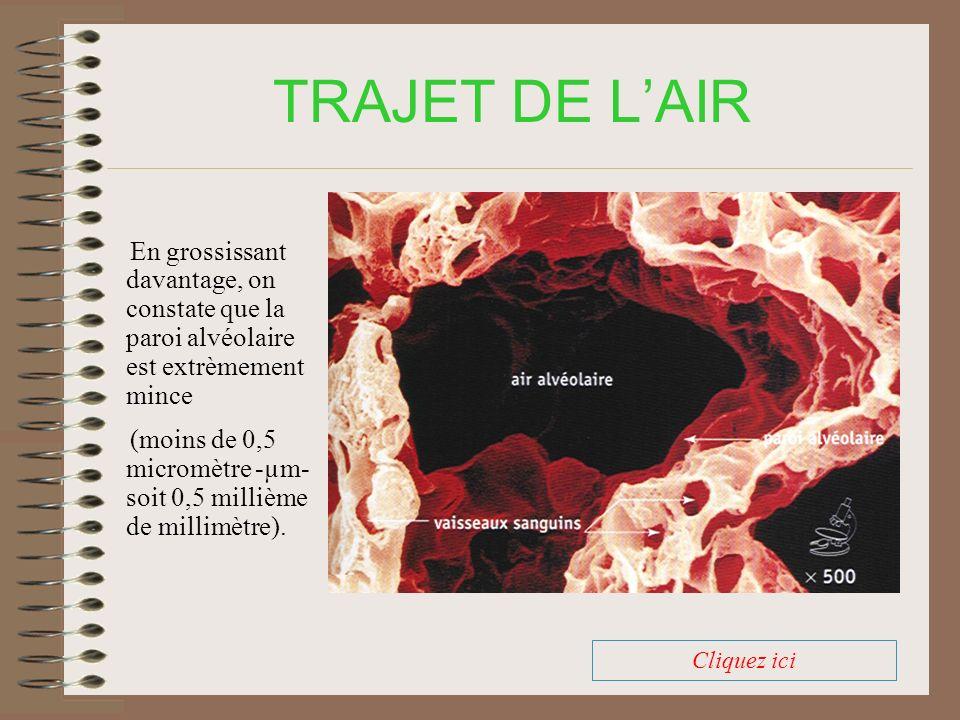 TRAJET DE L'AIR En grossissant davantage, on constate que la paroi alvéolaire est extrèmement mince.