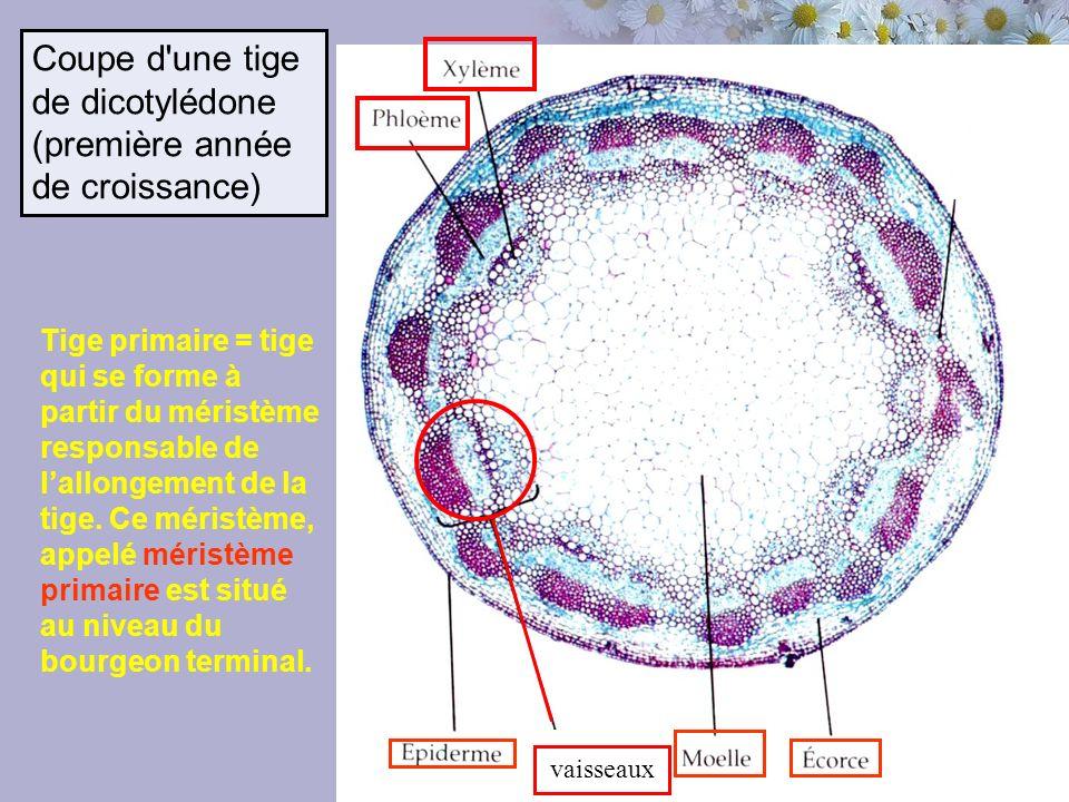 Coupe d une tige de dicotylédone (première année de croissance)
