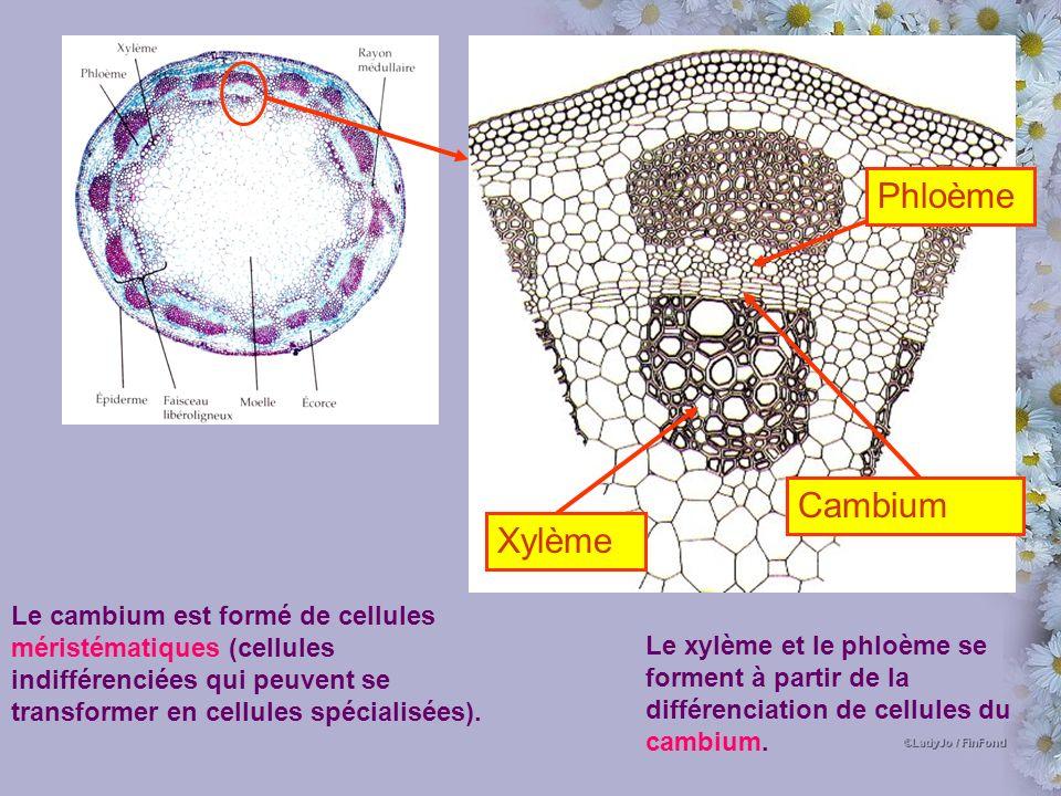Phloème Cambium Xylème