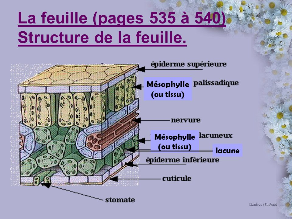 La feuille (pages 535 à 540) Structure de la feuille.