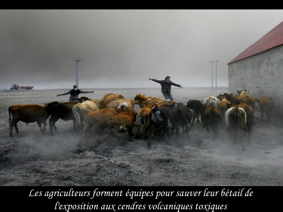 Les agriculteurs forment équipes pour sauver leur bétail de l exposition aux cendres volcaniques toxiques