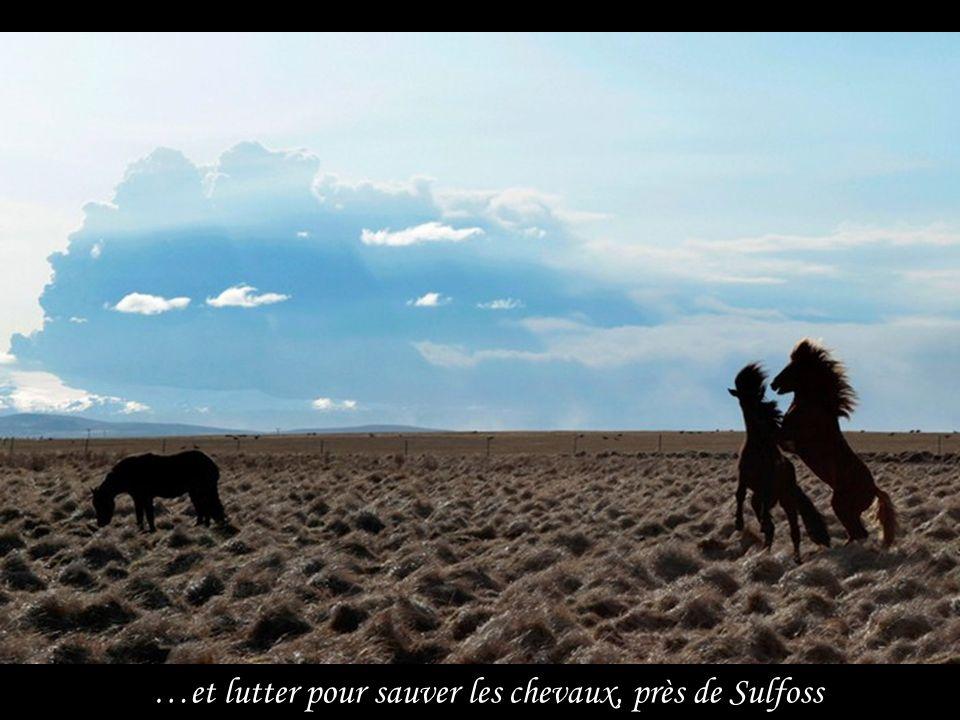 …et lutter pour sauver les chevaux, près de Sulfoss