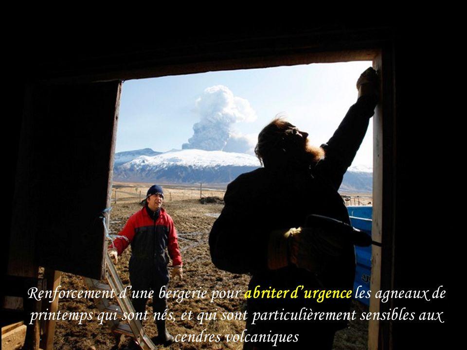 Renforcement d'une bergerie pour abriter d'urgence les agneaux de printemps qui sont nés, et qui sont particulièrement sensibles aux cendres volcaniques