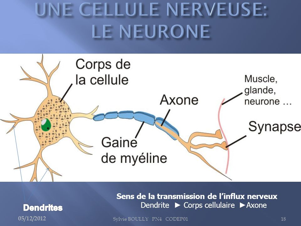 UNE CELLULE NERVEUSE: LE NEURONE