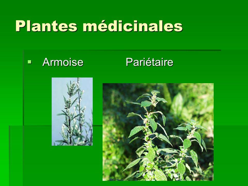 Plantes médicinales Armoise Pariétaire