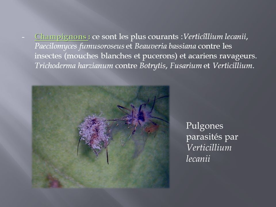 Pulgones parasités par Verticillium lecanii