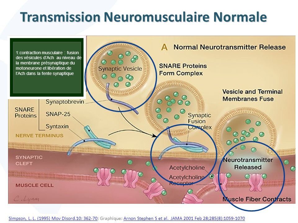 Transmission Neuromusculaire Normale
