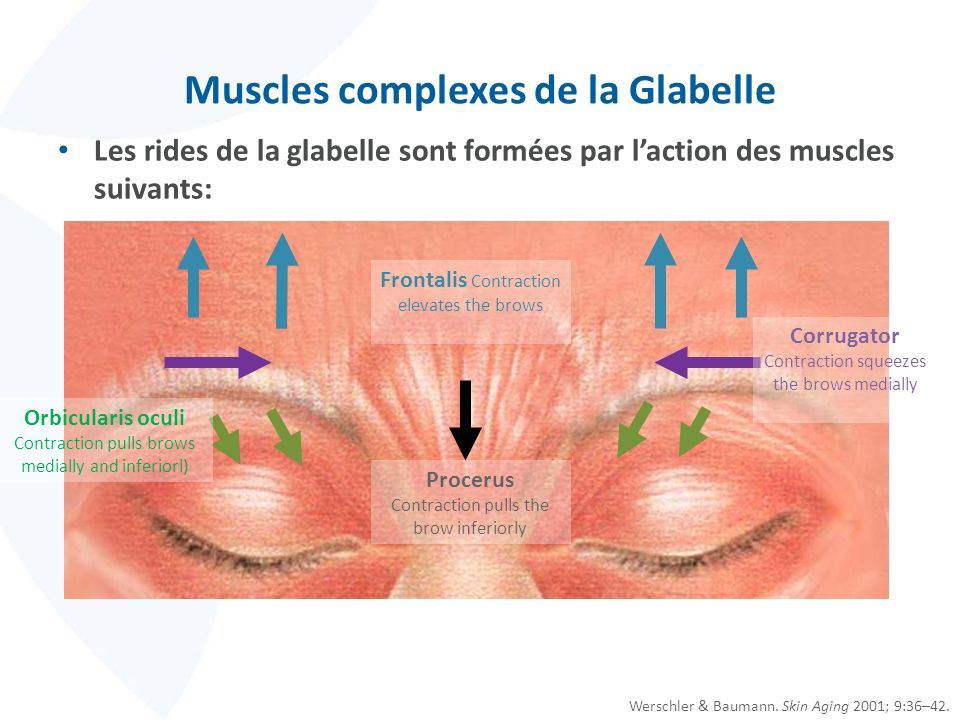 Muscles complexes de la Glabelle