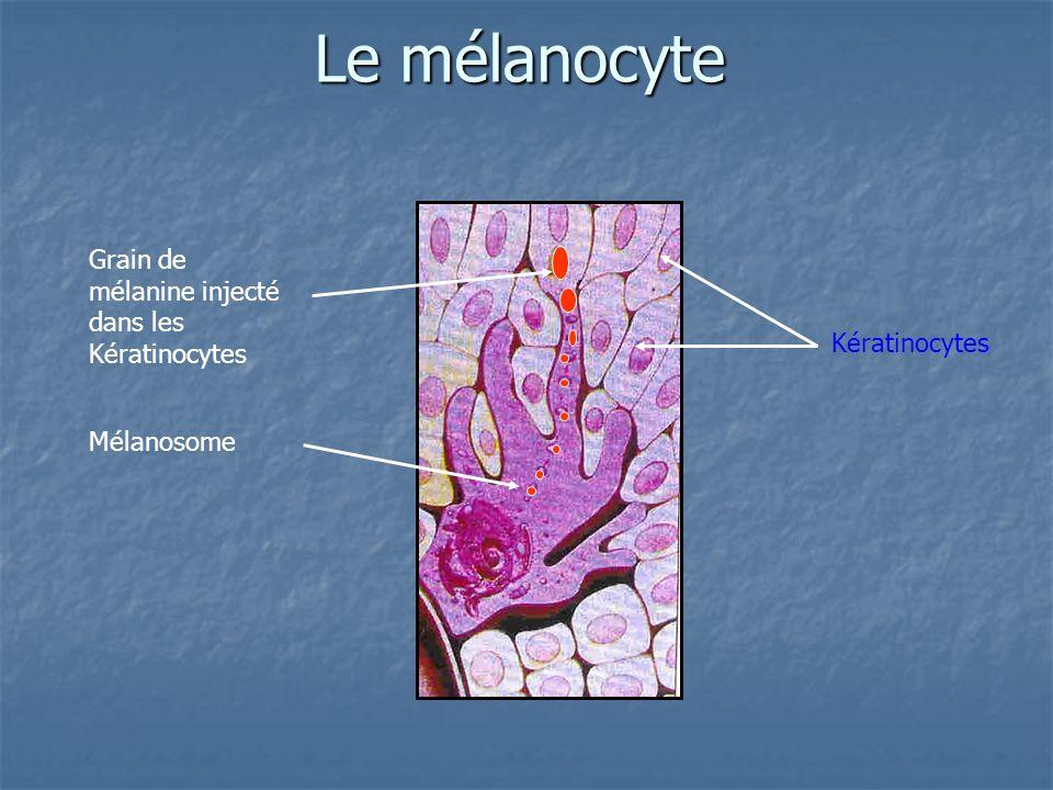 Le mélanocyte Grain de mélanine injecté dans les Kératinocytes