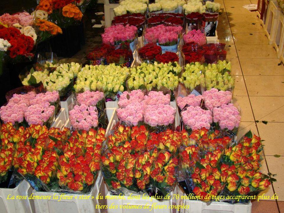 La rose demeure la fleur « star » du marché, dont les plus de 70 millions de tiges accaparent plus du tiers des volumes de fleurs coupées