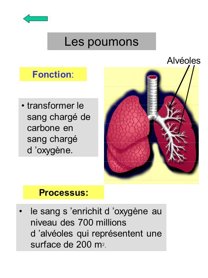 Les poumons Alvéoles Fonction:
