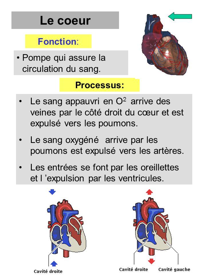 Le coeur Fonction: Pompe qui assure la circulation du sang. Processus: