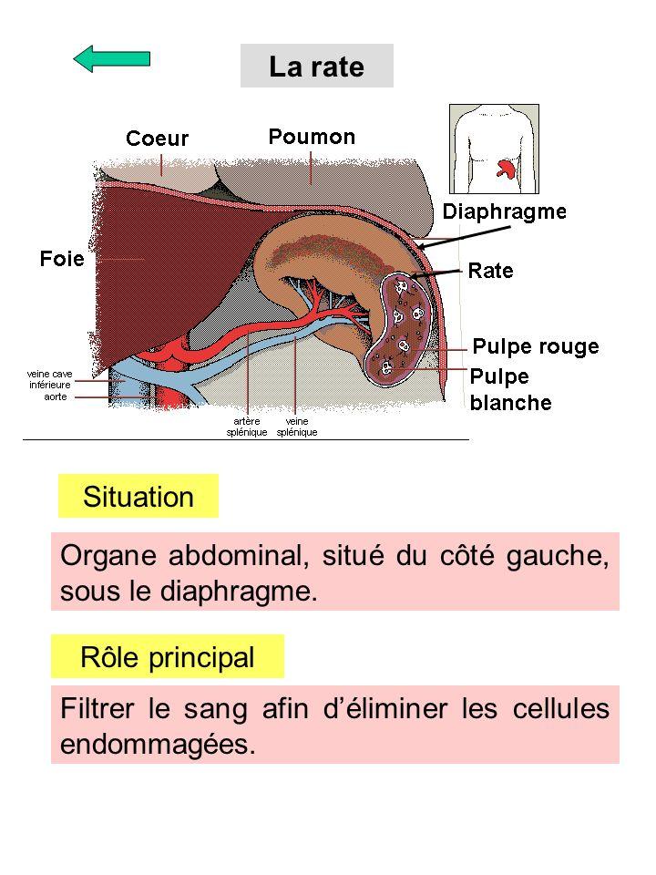 La rate Situation. Organe abdominal, situé du côté gauche, sous le diaphragme. Rôle principal.