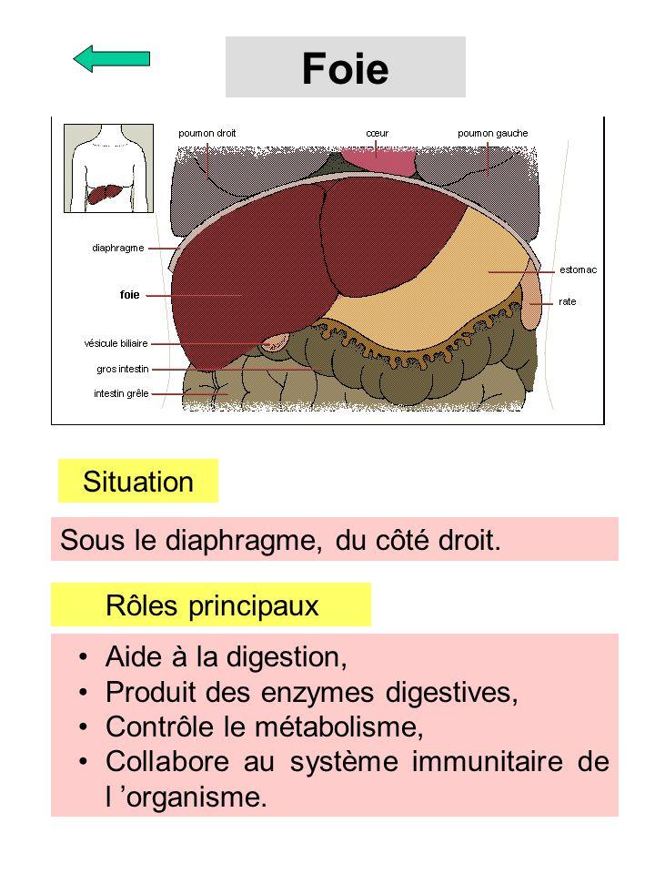 Foie Situation Sous le diaphragme, du côté droit. Rôles principaux