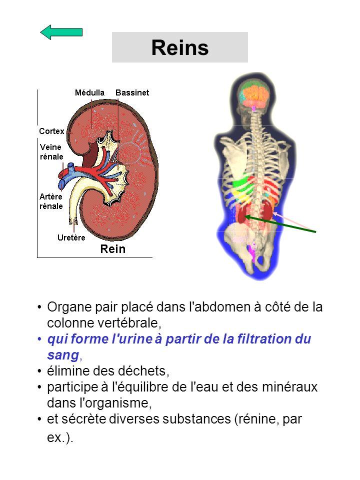 Reins Organe pair placé dans l abdomen à côté de la colonne vertébrale, qui forme l urine à partir de la filtration du sang,