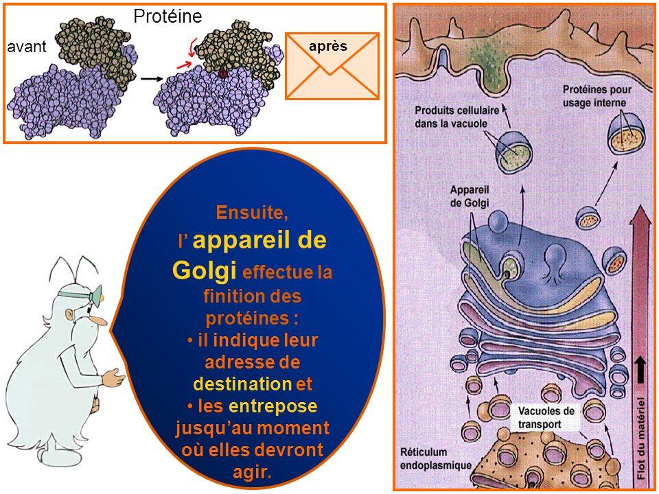 l' appareil de Golgi effectue la finition des protéines :
