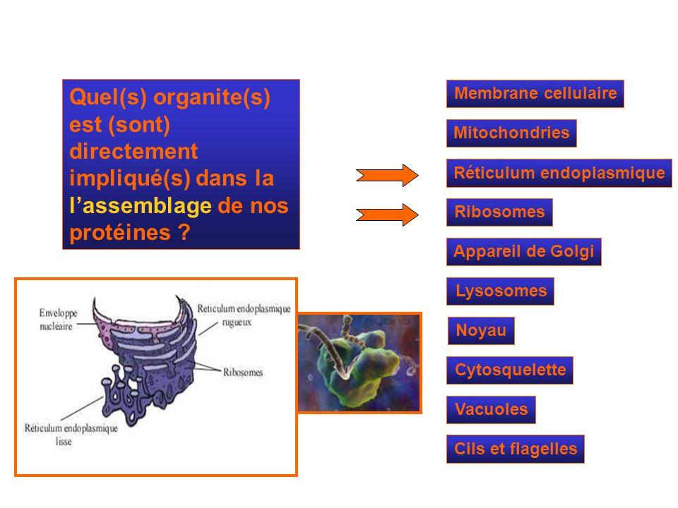 Quel(s) organite(s) est (sont) directement impliqué(s) dans la l'assemblage de nos protéines