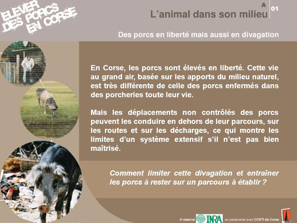 En Corse, les porcs sont élevés en liberté