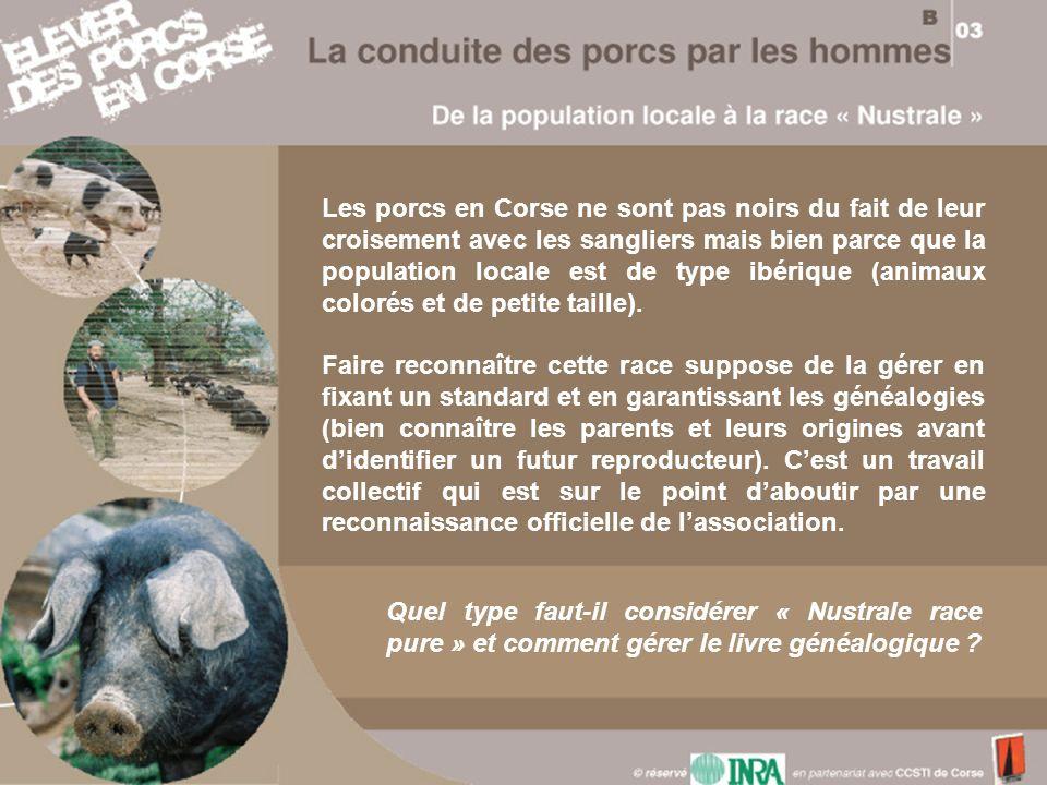 Les porcs en Corse ne sont pas noirs du fait de leur croisement avec les sangliers mais bien parce que la population locale est de type ibérique (animaux colorés et de petite taille).