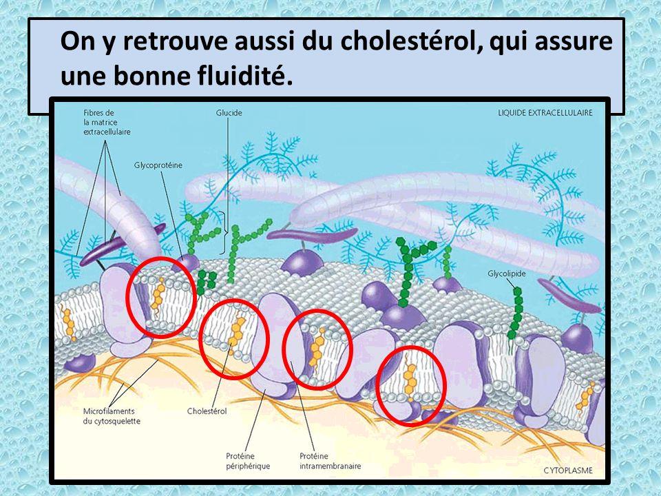 On y retrouve aussi du cholestérol, qui assure une bonne fluidité.