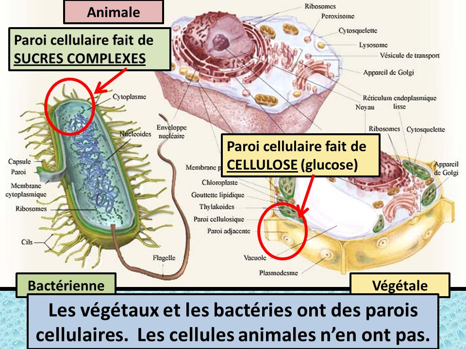 Animale Paroi cellulaire fait de SUCRES COMPLEXES. Paroi cellulaire fait de CELLULOSE (glucose) Bactérienne.