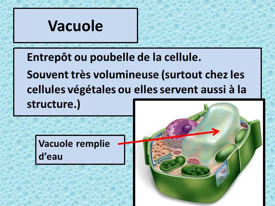 Vacuole Entrepôt ou poubelle de la cellule. Souvent très volumineuse (surtout chez les cellules végétales ou elles servent aussi à la structure.)