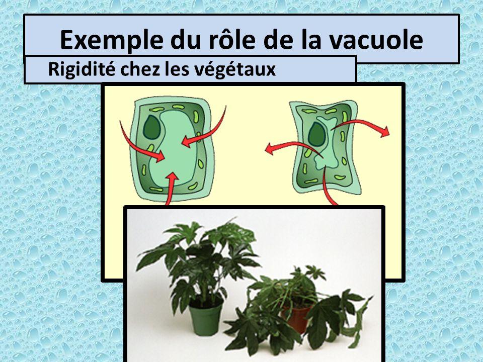 Exemple du rôle de la vacuole