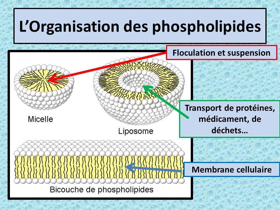 L'Organisation des phospholipides