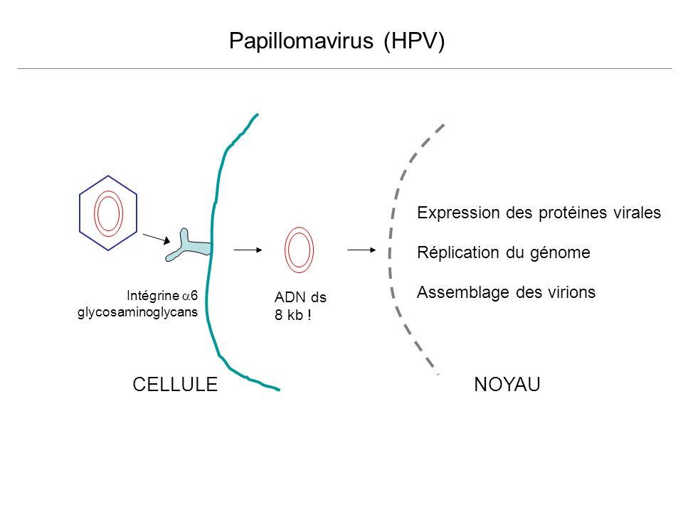 Papillomavirus (HPV) CELLULE NOYAU Expression des protéines virales
