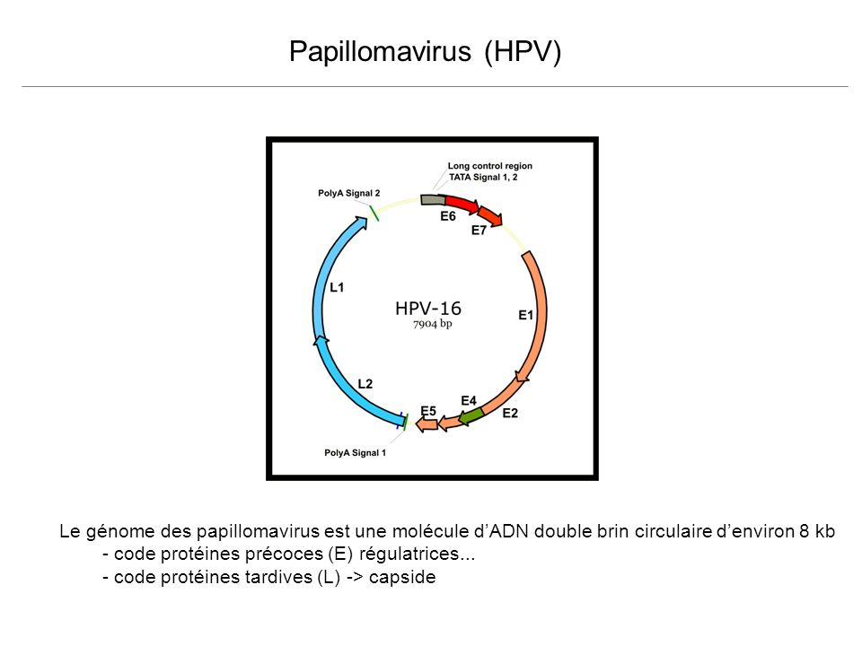 Papillomavirus (HPV) Le génome des papillomavirus est une molécule d'ADN double brin circulaire d'environ 8 kb.