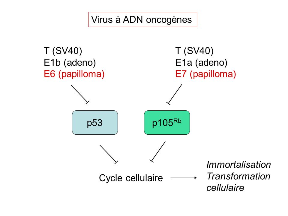 Virus à ADN oncogènes T (SV40) E1b (adeno) E6 (papilloma) T (SV40) E1a (adeno) E7 (papilloma) p105Rb.