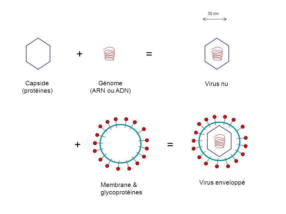 + = + = Capside (protéines) Génome (ARN ou ADN) Virus nu
