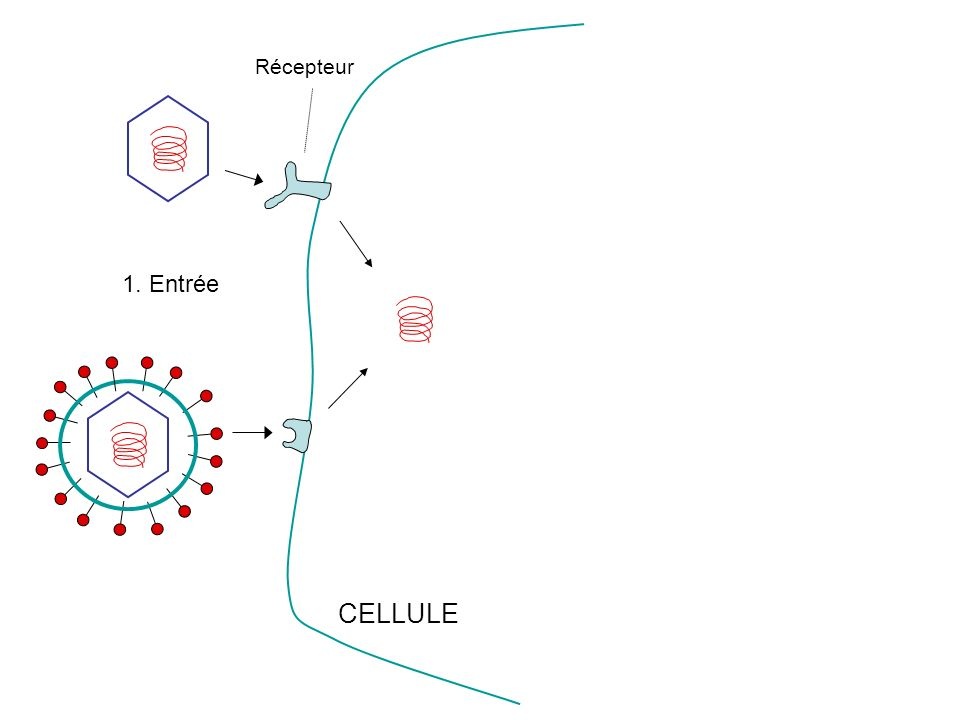 Récepteur 1. Entrée CELLULE