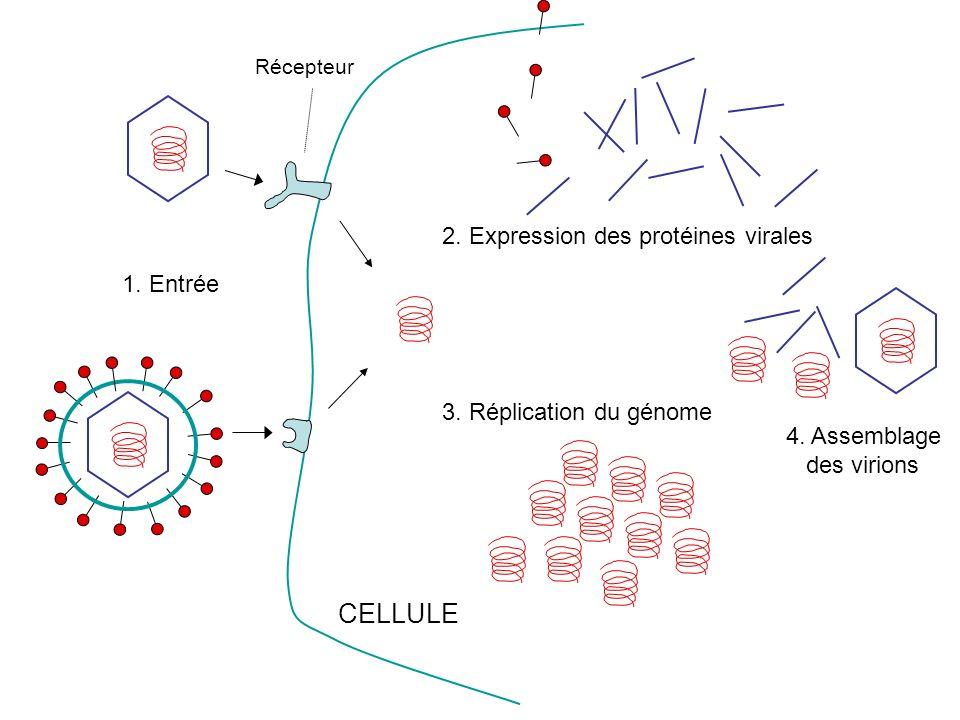 CELLULE 2. Expression des protéines virales 1. Entrée