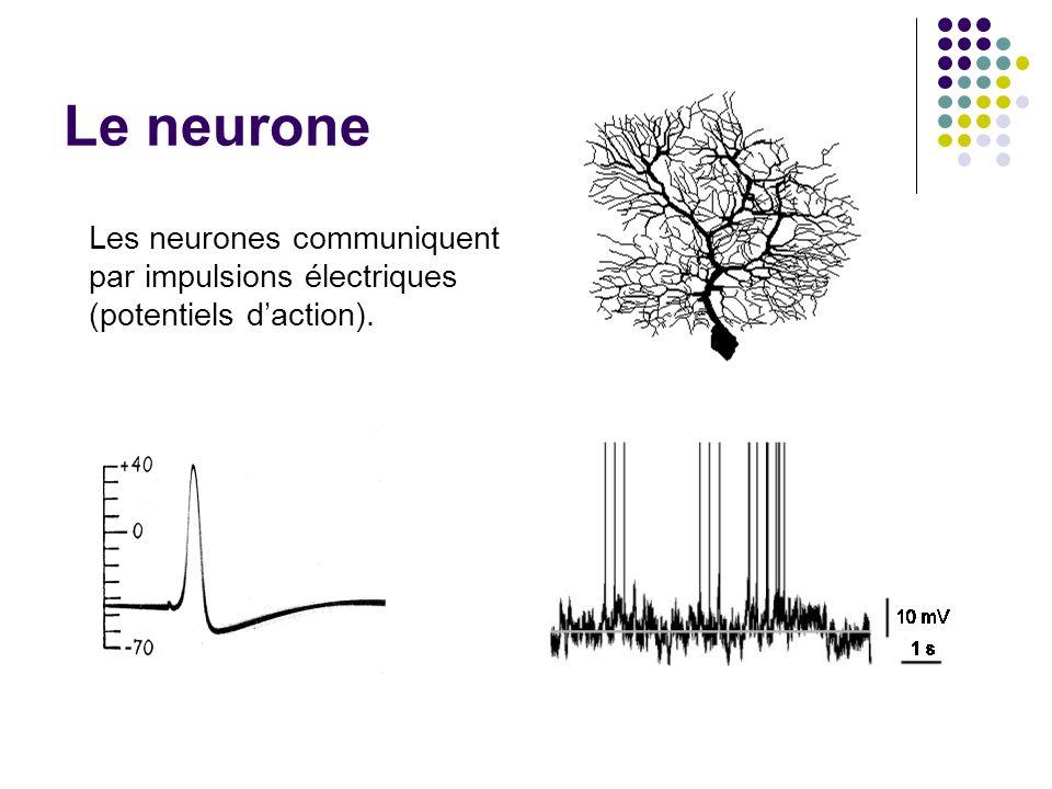 Le neurone Les neurones communiquent par impulsions électriques (potentiels d'action). Pourquoi des modèles impulsionnels