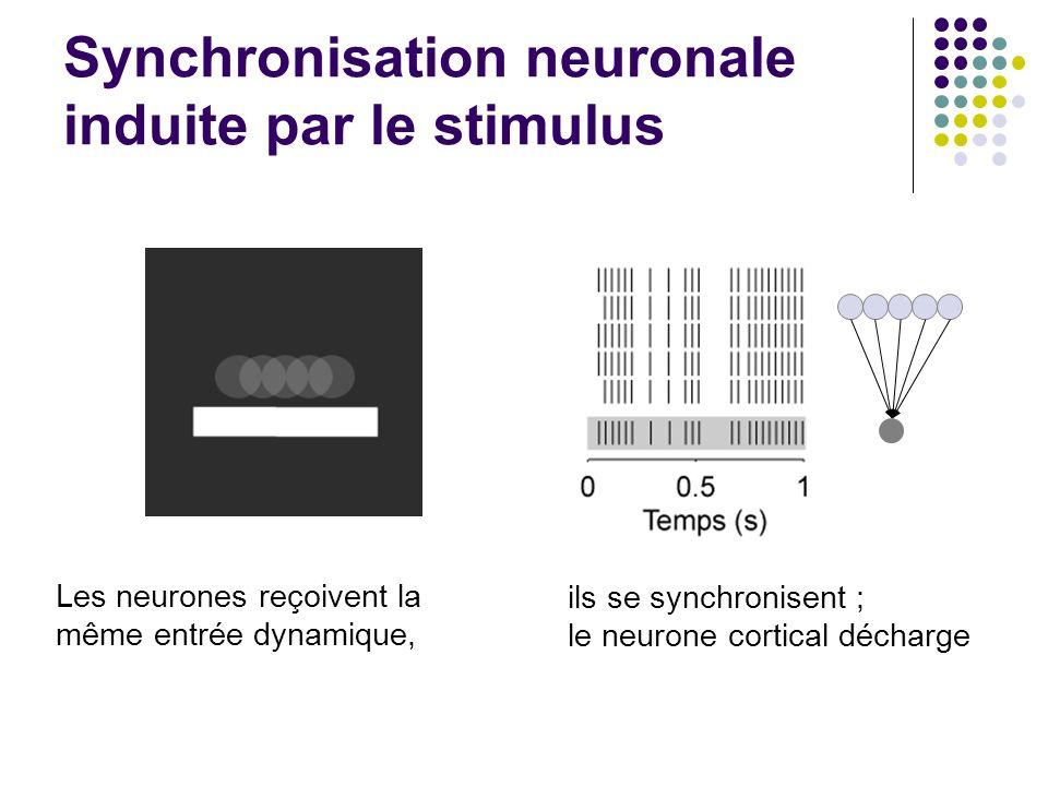 Synchronisation neuronale induite par le stimulus